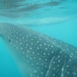 セブ島のオスロブでジンベイザメと泳いだ